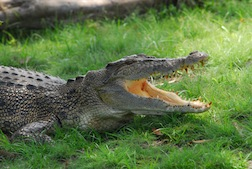 Crocodile Cruise